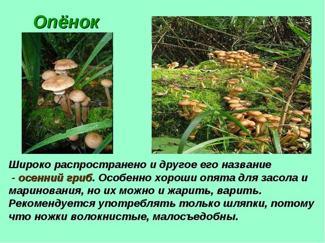 Опёнок Широко распространено и другое его название - осенний гриб. Особенно х...