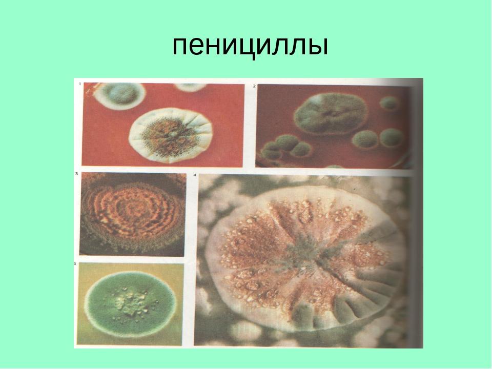 пенициллы