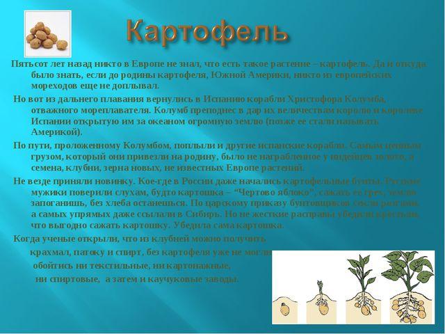 Пятьсот лет назад никто в Европе не знал, что есть такое растение – картофель...