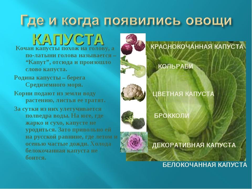 """КАПУСТА Кочан капусты похож на голову, а по-латыни голова называется – """"Капут..."""