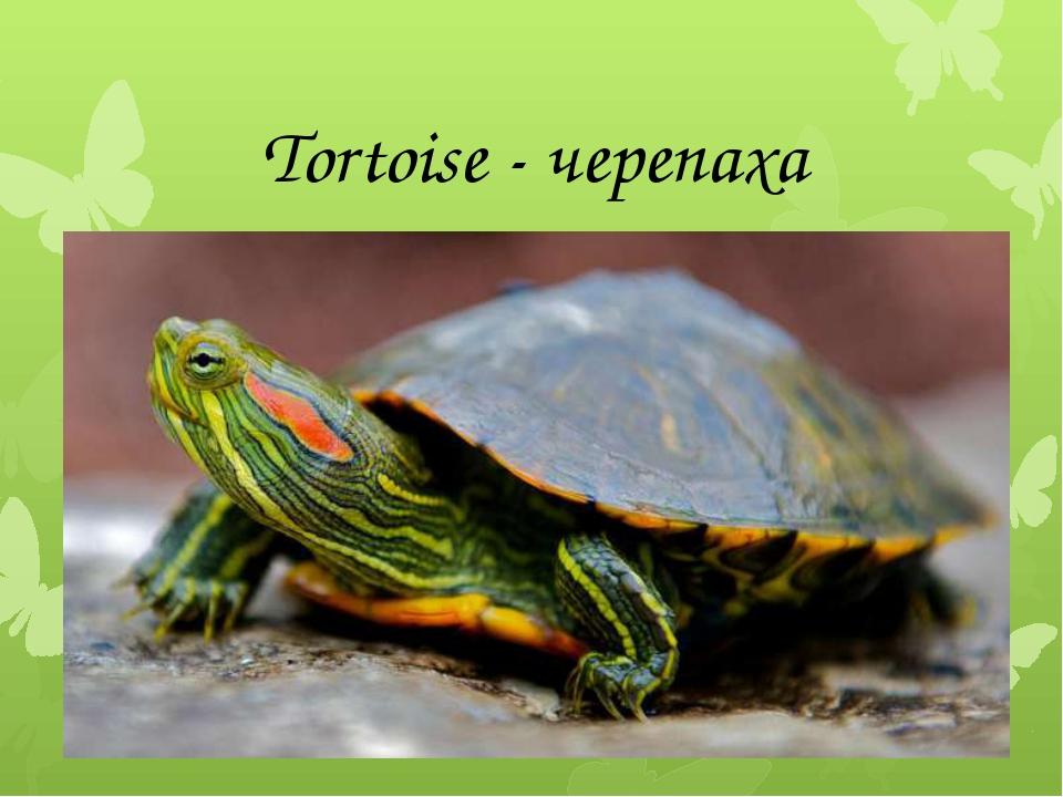 Tortoise - черепаха