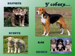 У собаки… волчата ягнята щенки или