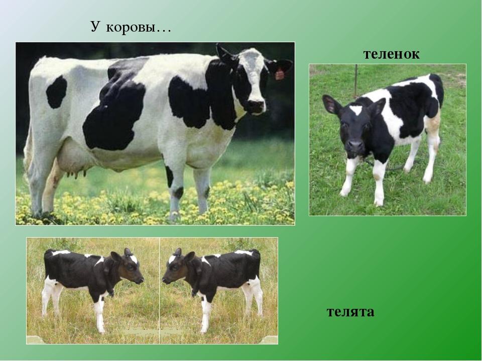 У коровы… теленок телята