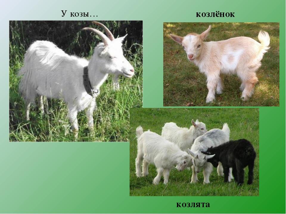 козлята У козы… козлёнок