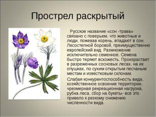 Прострел раскрытый Русское название «сон -трава» связано с поверьем, что живо