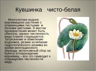 Кувшинка чисто-белая Многолетнее водное корневищное растение с плавающими лис