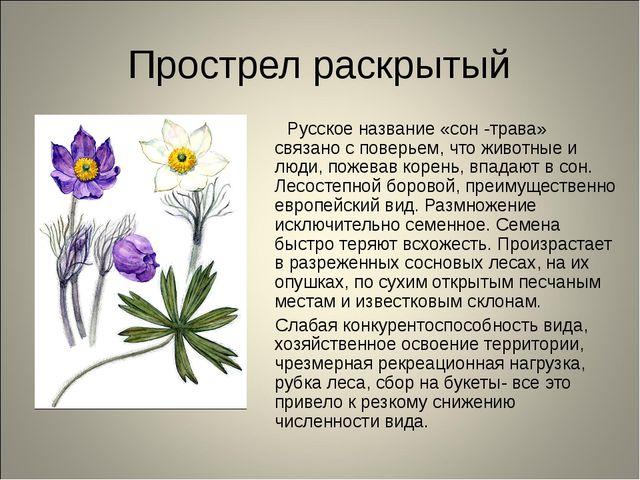 Прострел раскрытый Русское название «сон -трава» связано с поверьем, что живо...