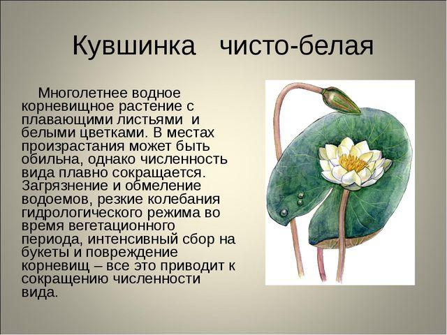 Кувшинка чисто-белая Многолетнее водное корневищное растение с плавающими лис...