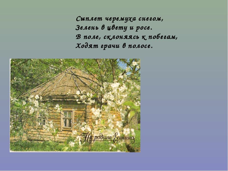 Сыплет черемуха снегом, Зелень в цвету и росе. В поле, склоняясь к побегам, Х...