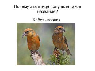 Почему эта птица получила такое название? Клёст -еловик