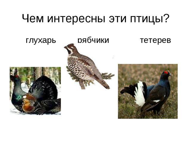 Чем интересны эти птицы? глухарь рябчики тетерев