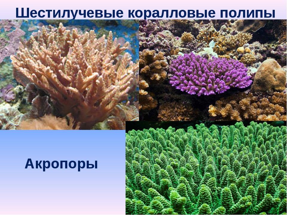 Шестилучевые коралловые полипы Акропоры