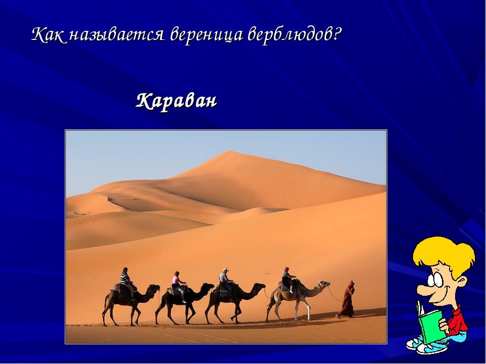 Как называется вереница верблюдов? Караван