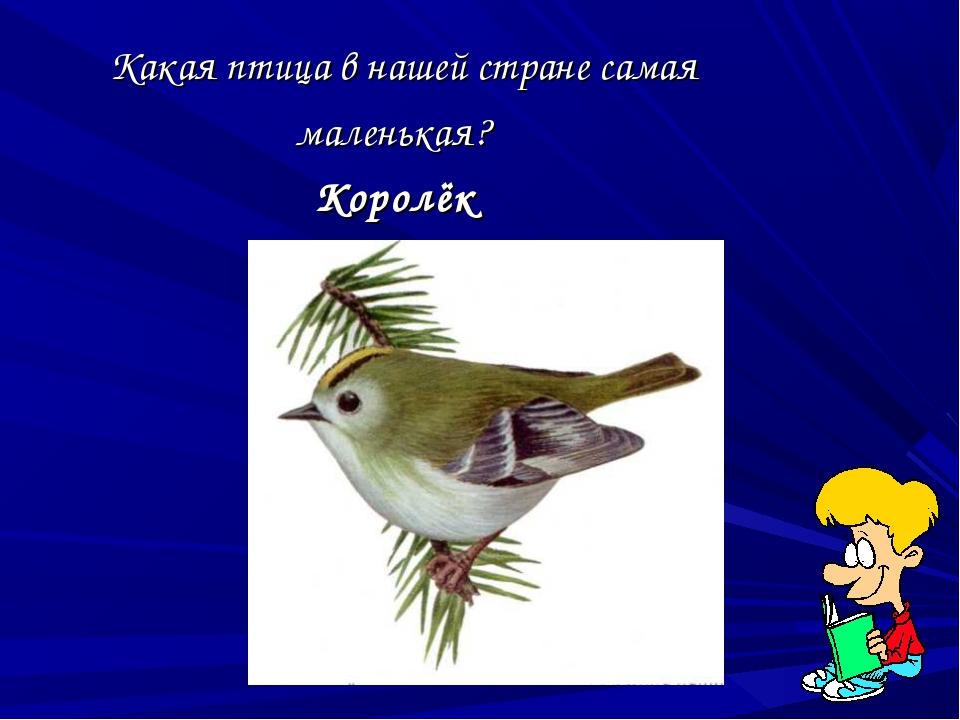 Какая птица в нашей стране самая маленькая? Королёк