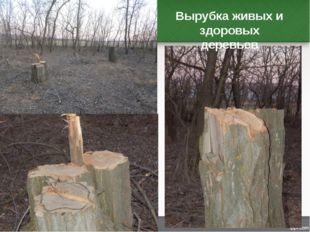 Вырубка живых и здоровых деревьев