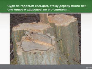 Судя по годовым кольцам, этому дереву много лет, оно живое и здоровое, но его