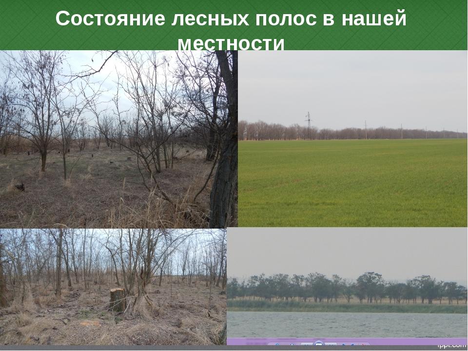 Состояние лесных полос в нашей местности