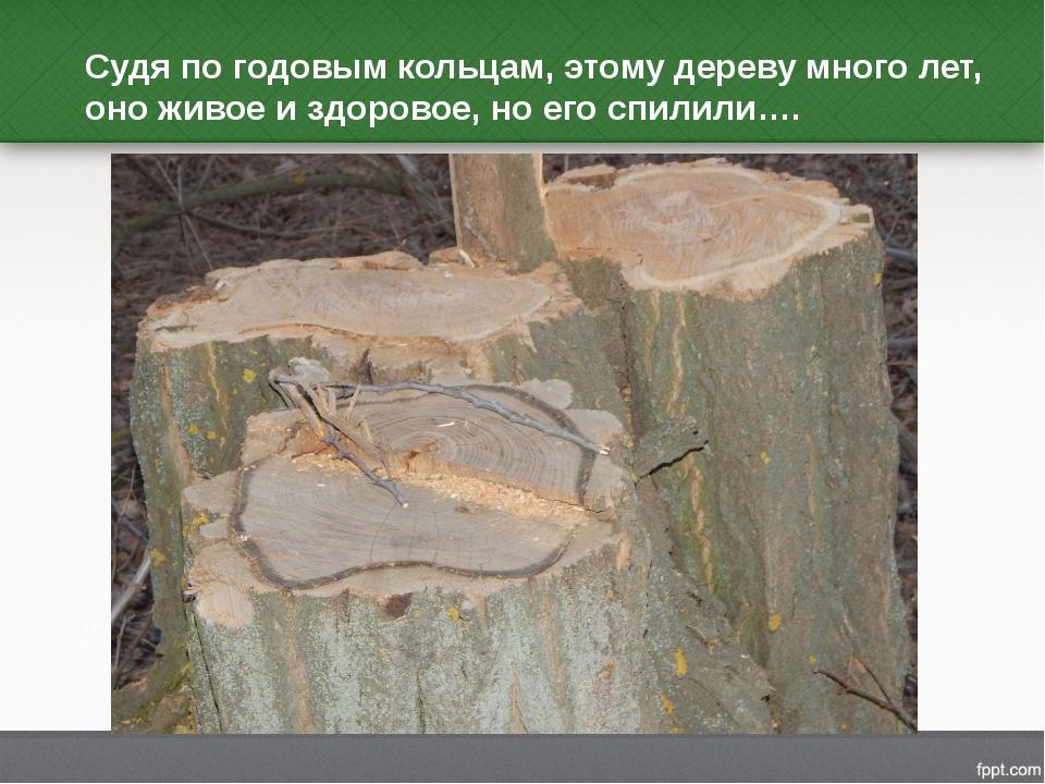 Судя по годовым кольцам, этому дереву много лет, оно живое и здоровое, но его...