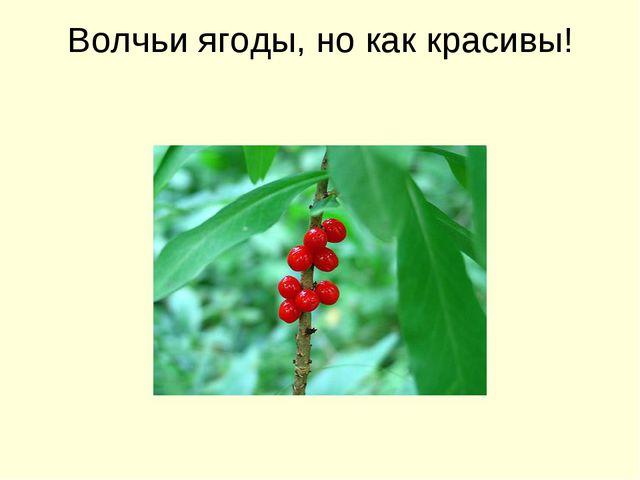 Волчьи ягоды, но как красивы!