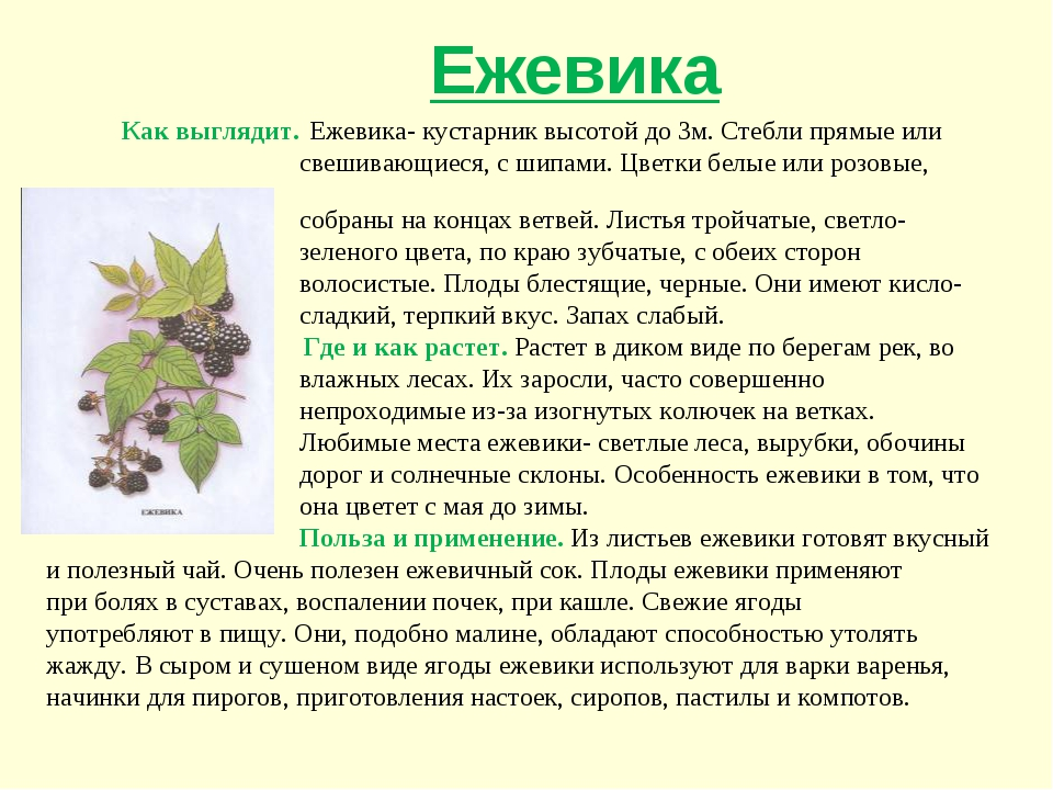 Как выглядит. Ежевика- кустарник высотой до 3м. Стебли прямые или свешивающи...