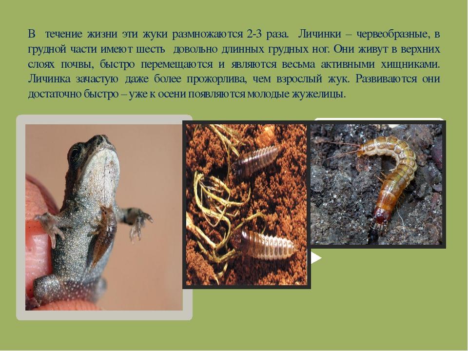 В течение жизни эти жуки размножаются 2-3 раза. Личинки – червеобразные, в гр...