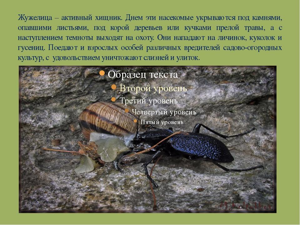 Жужелица – активный хищник. Днем эти насекомые укрываются под камнями, опавши...