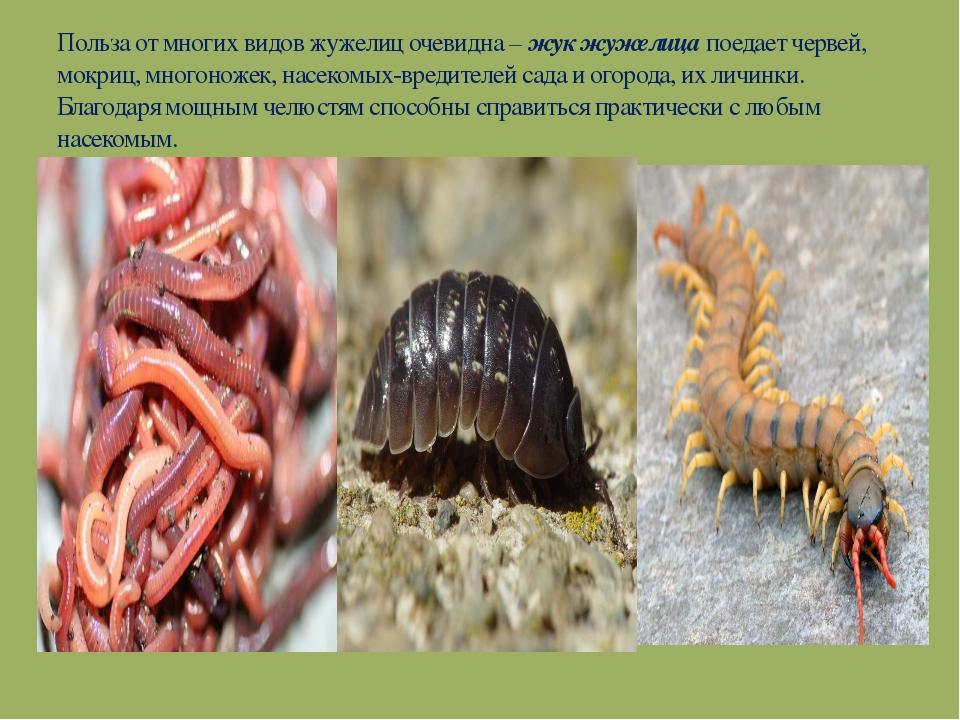 Польза от многих видов жужелиц очевидна – жук жужелица поедает червей, мокриц...