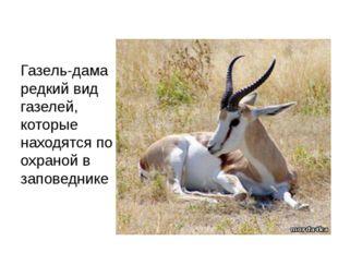Газель-дама редкий вид газелей, которые находятся по охраной в заповеднике