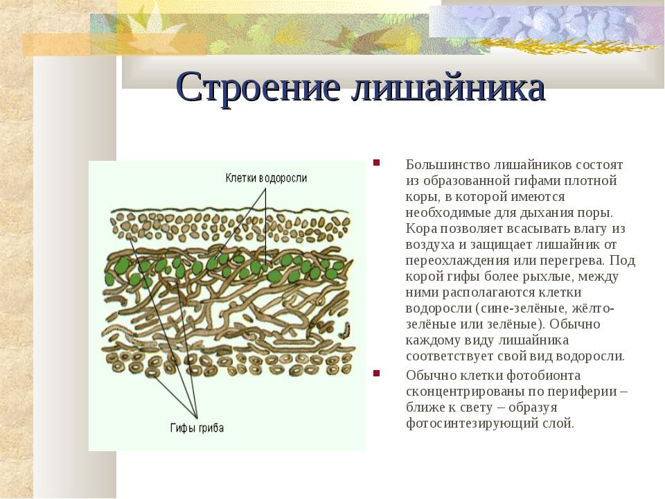 Строение лишайника Большинство лишайников состоят из образованной гифами плот...