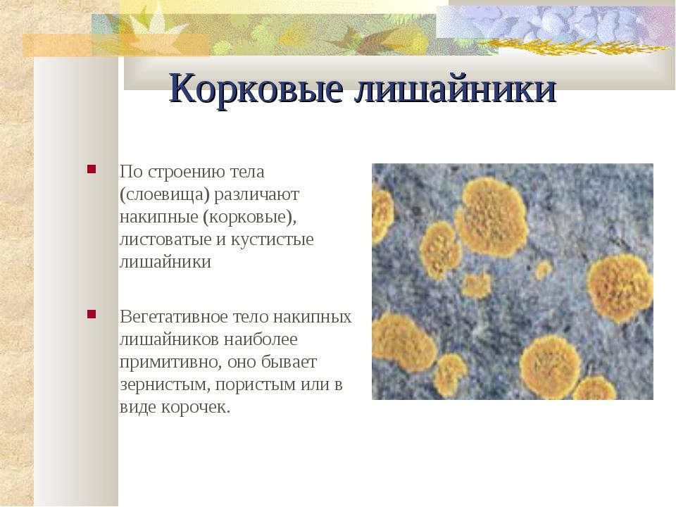 Корковые лишайники По строению тела (слоевища) различают накипные (коpковые),...