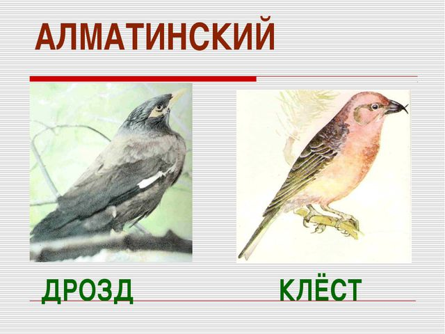 АЛМАТИНСКИЙ ДРОЗД КЛЁСТ
