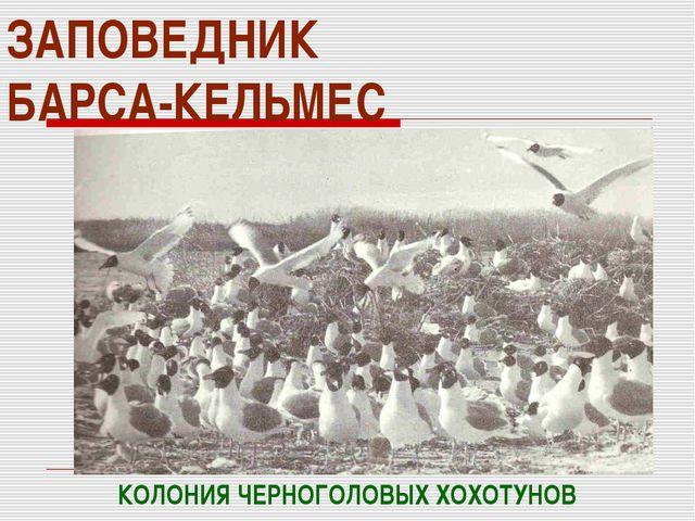 ЗАПОВЕДНИК БАРСА-КЕЛЬМЕС КОЛОНИЯ ЧЕРНОГОЛОВЫХ ХОХОТУНОВ