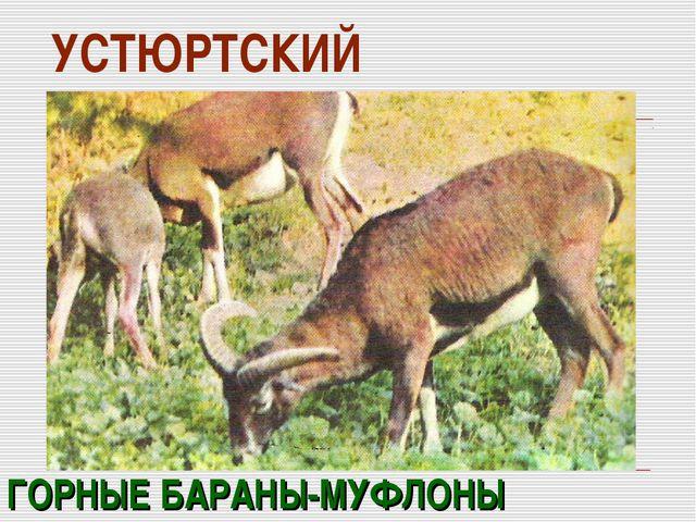 УСТЮРТСКИЙ ГОРНЫЕ БАРАНЫ-МУФЛОНЫ