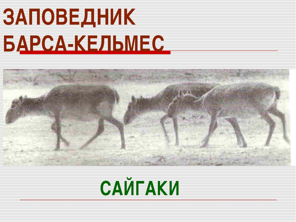 ЗАПОВЕДНИК БАРСА-КЕЛЬМЕС САЙГАКИ