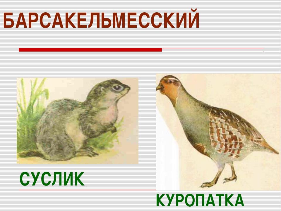 БАРСАКЕЛЬМЕССКИЙ КУРОПАТКА СУСЛИК