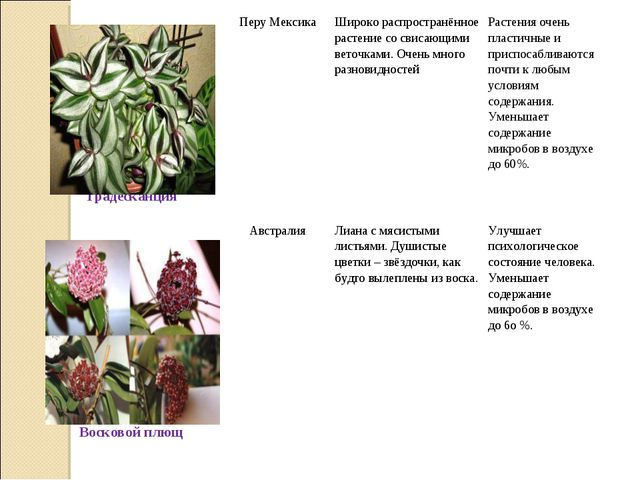 ТрадесканцияПеру МексикаШироко распространённое растение со свисающими вет...