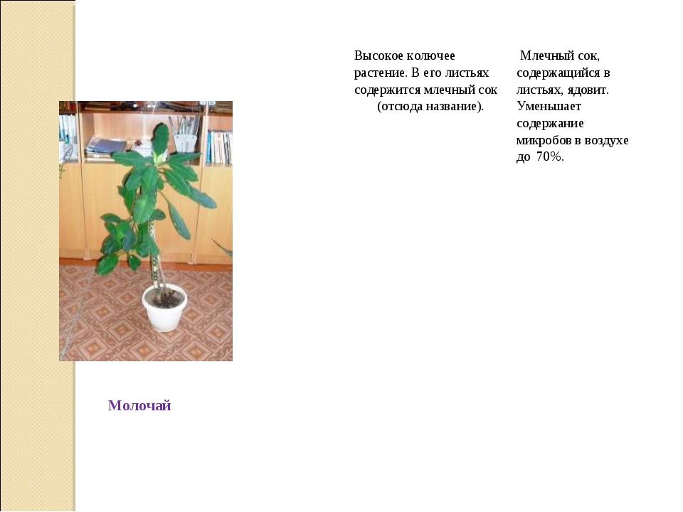 МолочайВысокое колючее растение. В его листьях содержится млечный сок (отс...