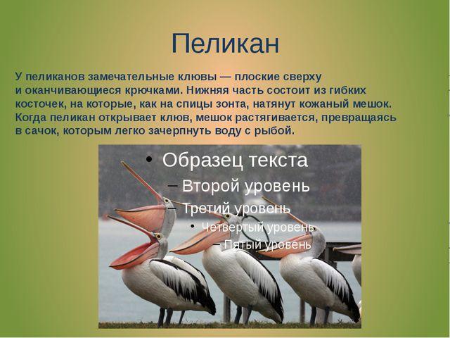 Пеликан Упеликанов замечательные клювы— плоские сверху иоканчивающиеся крю...