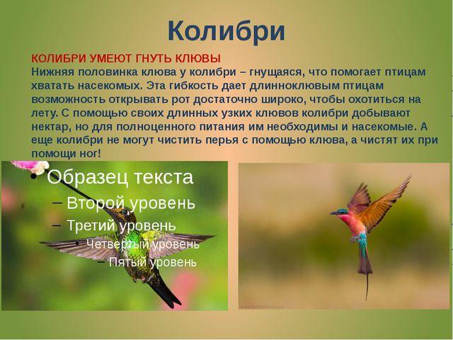 Колибри КОЛИБРИ УМЕЮТ ГНУТЬ КЛЮВЫ Нижняя половинка клюва у колибри – гнущаяся...