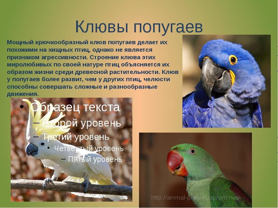 Клювы попугаев Мощный крючкообразный клюв попугаев делает их похожими на хищн...