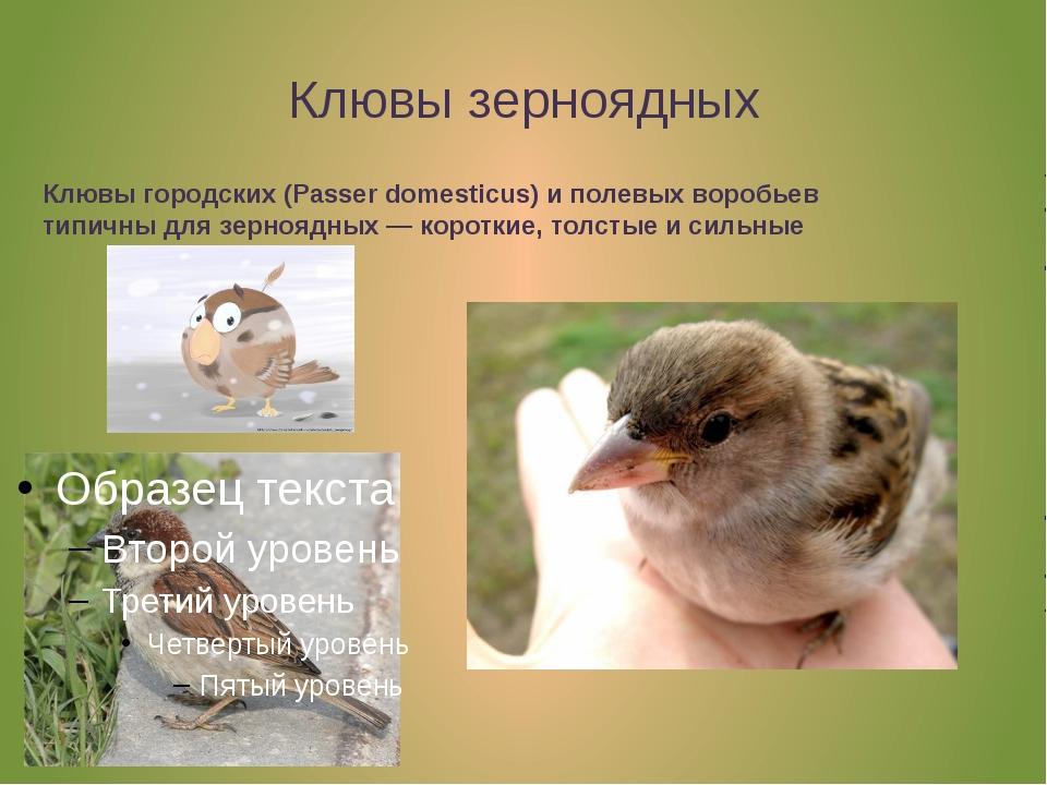 Клювы зерноядных Клювы городских (Passer domesticus) иполевых воробьев типич...