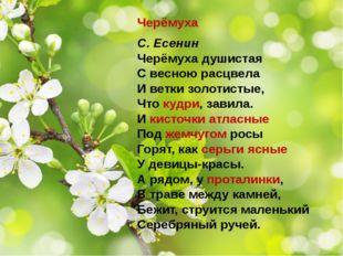 Черёмуха С. Есенин Черёмуха душистая С весною расцвела И ветки золотистые, Чт