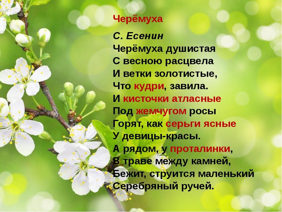 Черёмуха С. Есенин Черёмуха душистая С весною расцвела И ветки золотистые, Чт...