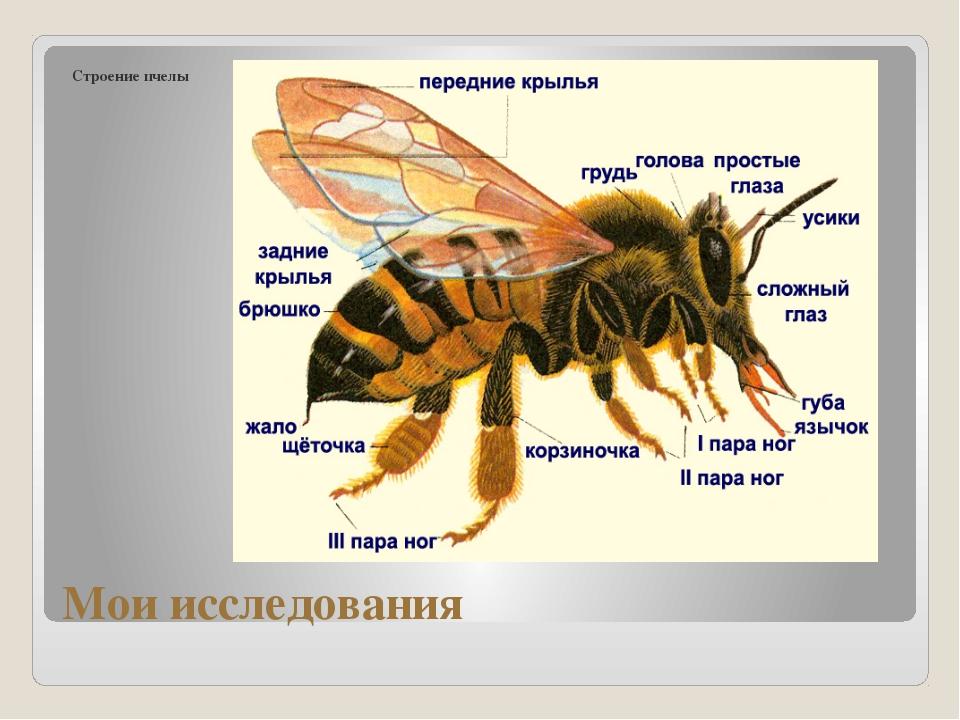 Мои исследования Строение пчелы