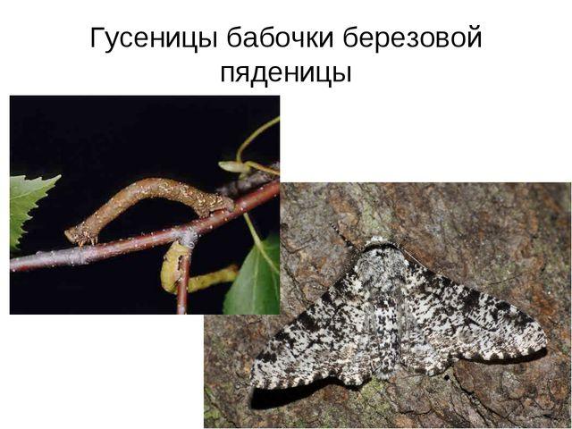 Гусеницы бабочки березовой пяденицы