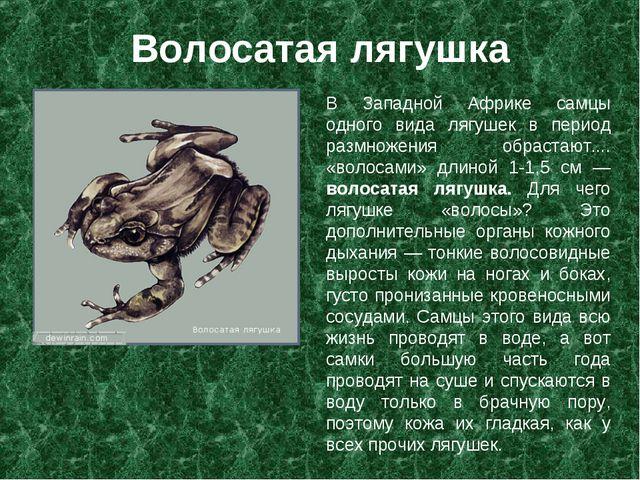 Волосатая лягушка В Западной Африке самцы одного вида лягушек в период размно...