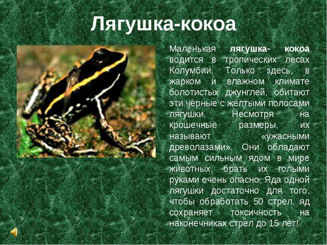 Лягушка-кокоа Маленькая лягушка- кокоа водится в тропических лесах Колумбии....