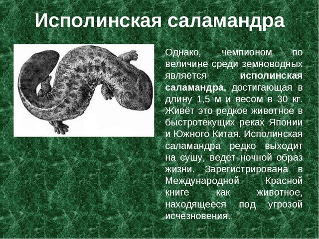 Исполинская саламандра Однако, чемпионом по величине среди земноводных являет...