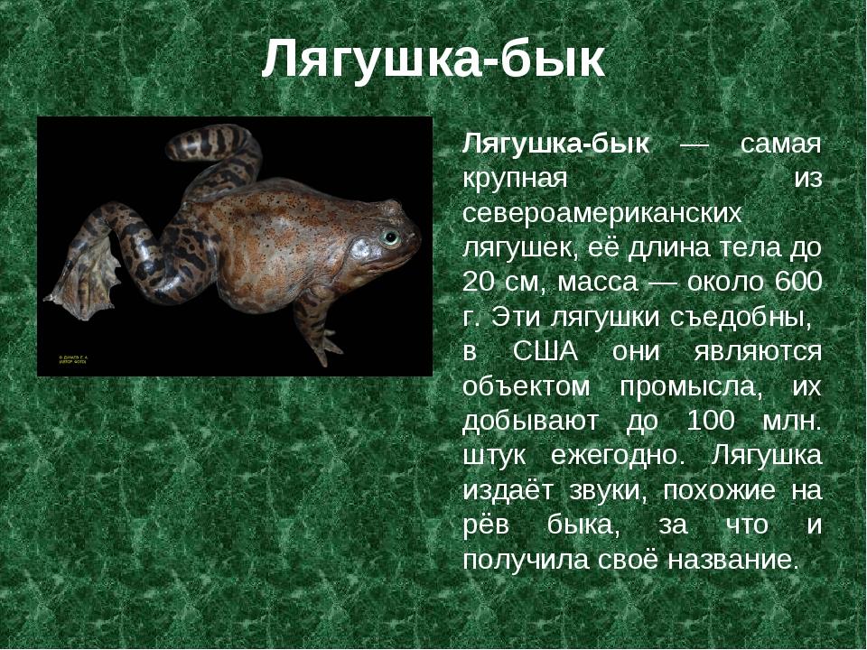 Лягушка-бык Лягушка-бык — самая крупная из североамериканских лягушек, её дли...