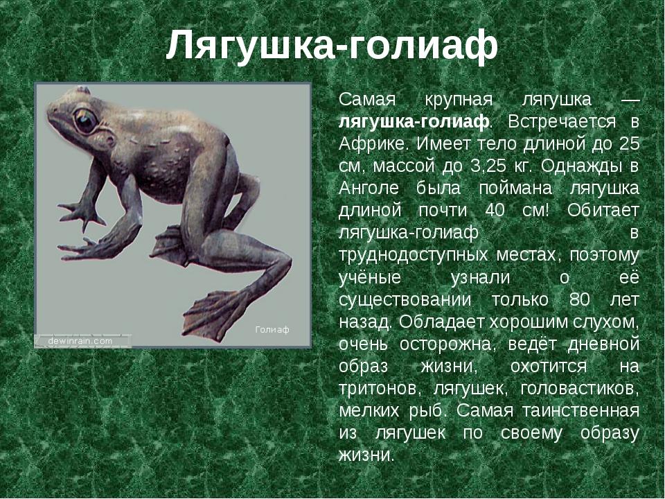 Лягушка-голиаф Самая крупная лягушка — лягушка-голиаф. Встречается в Африке....
